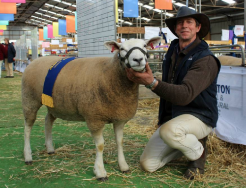 Mertex Texel & White Suffolk Studs Dominated at 2015 Hamilton Sheepvention