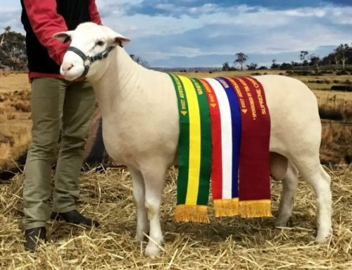 Mertex Supreme White Suffolk Exhibit Australian Sheep & Wool Show 2017