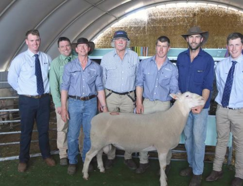 Inaugural Mertex ram sale a hit with prices to $3600